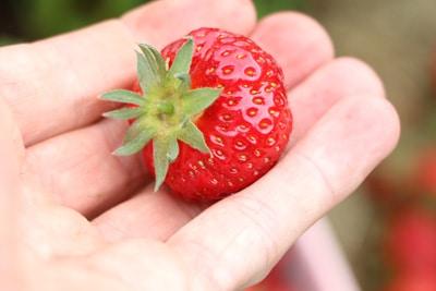 Erdbeeren vermehren Samen