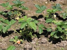 Erdbeeren vermehren