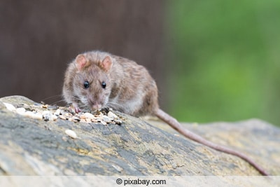 Ratte - Rattenköder für die Falle