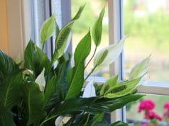 Einblatt giftig Allergie Spathiphyllum