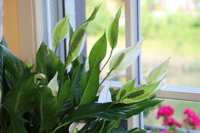 Einblatt Zimmerpflanzen Spathiphyllum