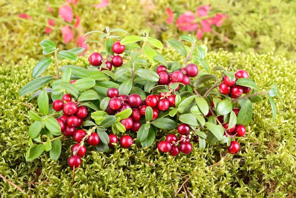 Moorbeetpflanzen - Cranberry