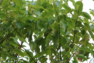 Kampferbaum Fliegenabwehr