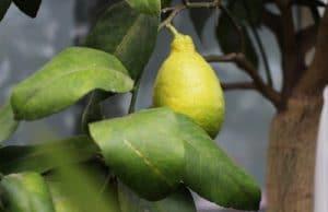 Zitronenbaum Zitruspflanze