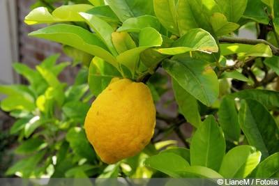 Zitronenbaum Blätter rollen sich