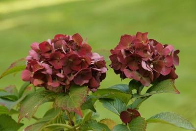 Hortensiensorten