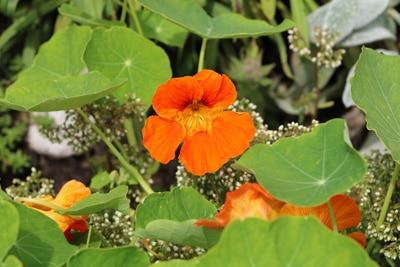 Kapuzinerkresse Schlingenpflanze
