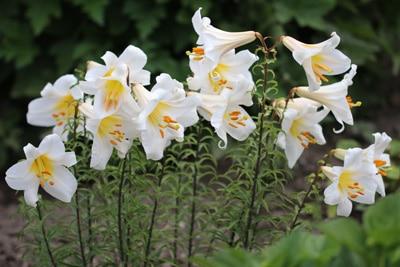 Lilienarten im Überblick