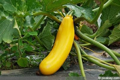 Zucchinisorten