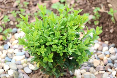 Buchsbaumhecke pflanzen