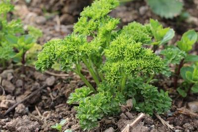 Pflanzen aus Samen ziehen - Petersilie