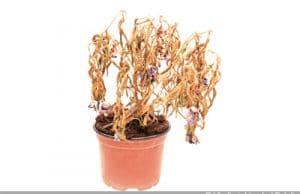 vertrocknete Pflanzen retten