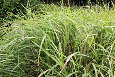Gräser schneiden Chinaschilf