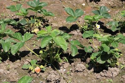 Erdbeeren düngen, Tomaten-Mischkultur