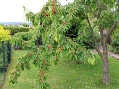Kirschbaum-Blätter Blattkrankheiten