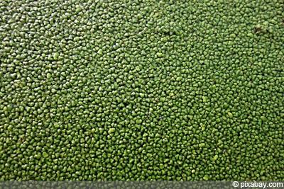 Wasserlinsen Graskarpfen halten