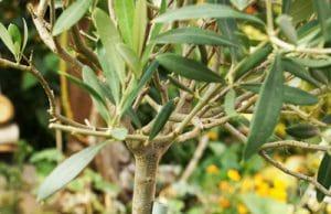 Olivenbaum Olea europaea
