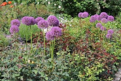 Riesen Lauch Allium giganteum