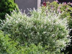 Harlekinweide Salix integra