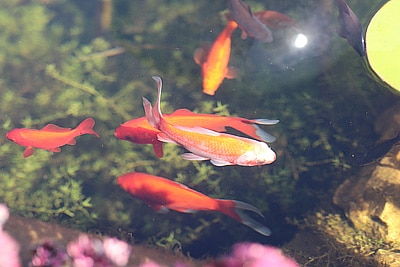 Teich Goldfische