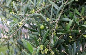 Oliven ernten