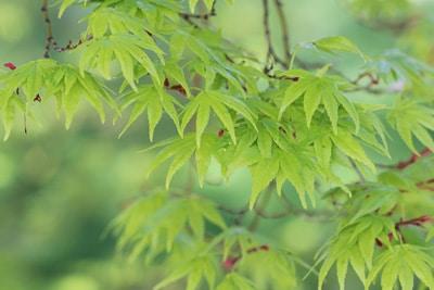 Fächerahorn Acer palmatum