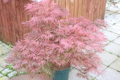 japanischer Fächerahorn winterharte Kübelpflanze