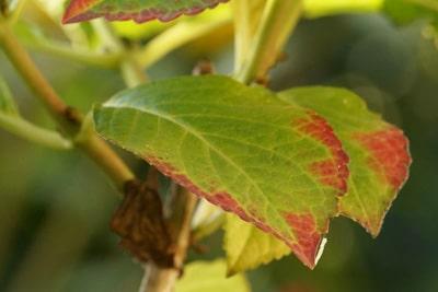 Hortensie braune Blätter