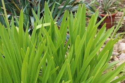 Liebesblume Schmucklilie Agapanthus