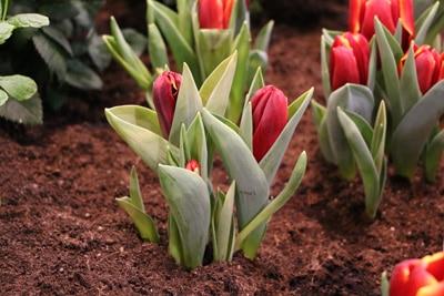 Tulpen Tulipa