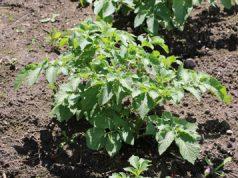 Kartoffel Solanum tuberosum