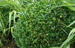 Buchsbaum Buxus