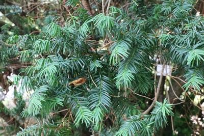 Eibe Taxus baccata