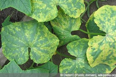 Gurkenmosaikvirus Gurkenkrankheiten