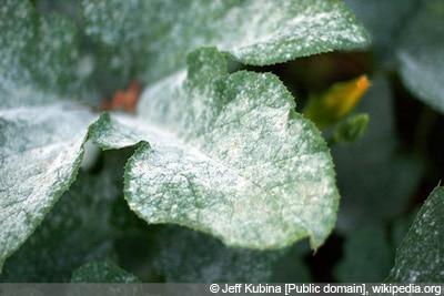 Mehltau Gurkenkrankheiten