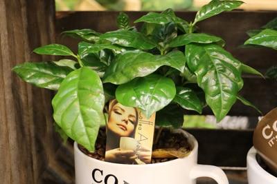 Kaffeepflanze Coffea