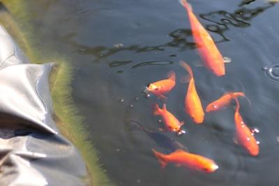 Teich Tiefe Goldfische