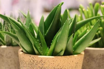 Aloe Vera Aloe-Arten