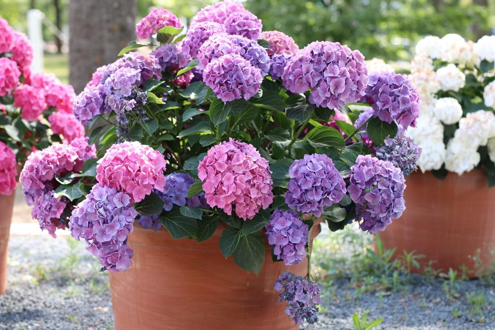 Hortensien nach der Blüte abschneiden ja oder nein? Gartendialog de ~ 07150616_Sukkulenten Blüte Abschneiden