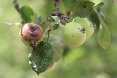 Apfel Malus faul Kelchfäule
