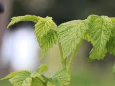Himbeeren Rubus idaeus