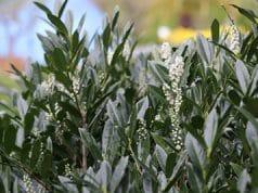 Kirschlorbeer Prunus laurocerasus