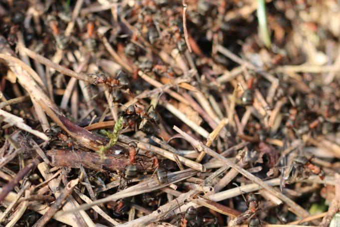 Ameisenplage im Hochbeet