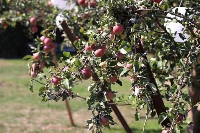 Obstbaum - alte Obstsorten