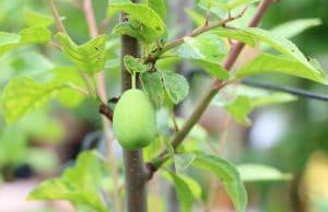 Aprikosenbaum Krankheiten