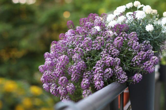 blumenkasten ganzj hrig bepflanzen balkonpflanzen von a z. Black Bedroom Furniture Sets. Home Design Ideas