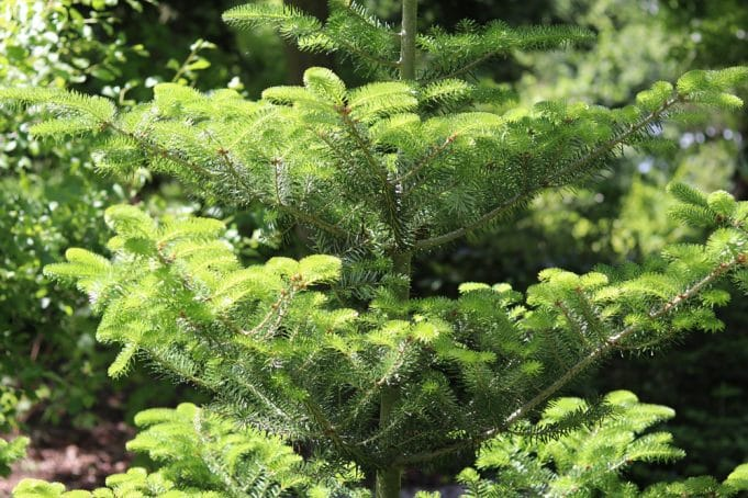 Koreatanne Nadelbäume unterpflanzen