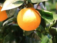 Orangenbaum Blätter