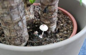 Pilze im Blumentopf