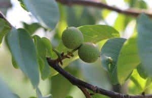 Walnussbaum unterpflanzen